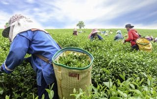 Crowd of tea picker picking tea leaf on plantation, Chiang Rai,